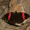 Adelpha lycorias lara,  Limenitidinae, Nymphalidae<br /> 0314, Manu Road , Peru ,18 septembre 2014