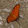 Marpesia petreus, Cyrestinae, Nymphalidae,  Red Daggerwing<br /> 1486, Amazon Manu Lodge ,Manu National Park, Peru ,22 septembre 2014
