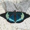 Panacea prola amazonica, Biblidinae,  Nymphalidae,  Red Flasher<br /> 0849, Amazonia Lodge Trails, Manu National Park, Peru ,20 septembre 2014