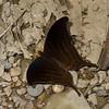 Marpesia themistocles norica, Cyrestinae, Nymphalidae, Dark Daggerwing<br /> 1336, Amazon Manu Lodge ,Manu National Park, Peru ,22 septembre 2014