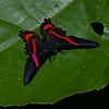 Ancyluris sp. <br /> 2230, CICRA Trails ,Manu National Park, Peru ,25 septembre 2014
