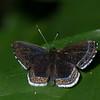 Detritivora cleonus , Riodinidae,  Cleonus Metalmark<br /> 2177, CICRA Trails , Manu National Park, Peru ,25 septembre 2014