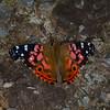 Vanessa myrinna, Nymphalidae, Vivid Painted Lady<br /> 0016, Wayquecha, Manu Road, Peru , 17 septembre 2014