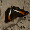 Adelpha thesprotia, Limenitidinae, Nymphalidae<br /> 1365, Amazon Manu Lodge ,Manu National Park, Peru ,22 septembre 2014