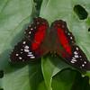 Anartia amathea, Nymphalidae,  <br /> 0981, Amazonia Lodge Trails, Manu National Park, Peru ,20 septembre 2014