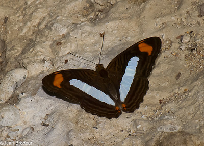 Papillons de jour du Perou