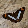 Adelpha iphiclus  , Limenitidinae, Nymphalidae, Iphiclus Sister<br /> 1664, Amazon Manu Lodge Trails ,Manu National Park, Peru ,23 septembre 2014