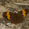 Adelpha irmina, Nymphalidae, <br /> 0324, Manu Road , Peru ,18 septembre 2014
