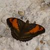 Adelpha mesentina, , Limenitidinae, Nymphalidae<br /> 1670, Amazon Manu Lodge Trails ,Manu National Park, Peru ,23 septembre 2014