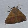 Bassania sp. Ennominae, Geometridae<br /> 9963, Manu Cloud Forest, Peru ,16 septembre 2014