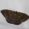 Hygrochroma sp.  Ennominae, Geometridae<br /> 0159, Wayquecha, Manu Road, Peru , 17 septembre 2014