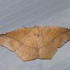 Geometridae sp.<br /> 1964, CICRA ,Manu National Park, Peru ,24 septembre 2014