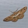 Papillon du Perou,  Geometridae sp.<br /> 0154, Wayquecha, Manu Road, Peru , 17 septembre 2014
