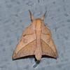 Adeloneivaia sp,  Ceratocampinae , Saturnidae<br /> 0722, Lower Manu Road, Amazonia Lodge, Peru ,19 septembre 2014