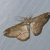 Papillon du Perou,  Geometridae sp.<br /> 0155, Wayquecha, Manu Road, Peru , 17 septembre 2014
