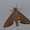 Pachylia darceta, Macroglossinae, Sphingidae<br /> 1597, Amazon Manu Lodge ,Manu National Park, Peru ,22 septembre 2014