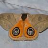 Automeris liberia male ,Saturniidae, Bompycoidea, Bullseye moth<br /> 0773, Lower Manu Road, Amazonia Lodge, Peru ,19 septembre 2014