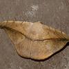 Papillon du Perou<br /> 9961, Manu Cloud Forest, Peru ,16 septembre 2014