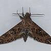 Euryglottis oliver, Sphingidae<br /> 0241, Manu Cloud Forest Lodge , Peru ,17 septembre 2014
