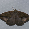 Hygrochroma sp.  Ennominae, Geometridae<br /> 0258, Manu Cloud Forest Lodge , Peru ,17 septembre 2014