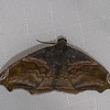 Papillon du Perou,  Erebidae sp.<br /> 0456, Manu Cloud Forest, Peru ,18 septembre 2014
