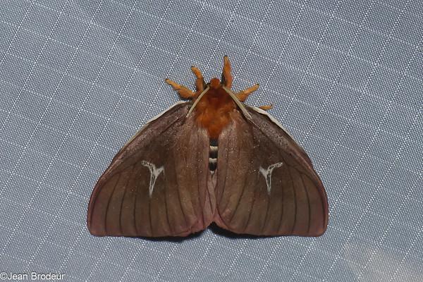 Papillons de nuit du Perou