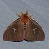 Cerodirphia avenata,  Hemileucinae,  Saturnidae<br /> 1151, Amazonia Lodge ,Manu National Park, Peru ,21 septembre 2014