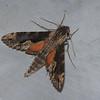 Erinnyis sp. Dilophonotini, Sphingidae<br /> 1157, Amazonia Lodge ,Manu National Park, Peru ,21 septembre 2014