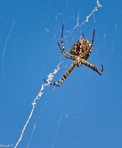 Araignée à l'affût ; Spider on the lookout : Argiope lobelia