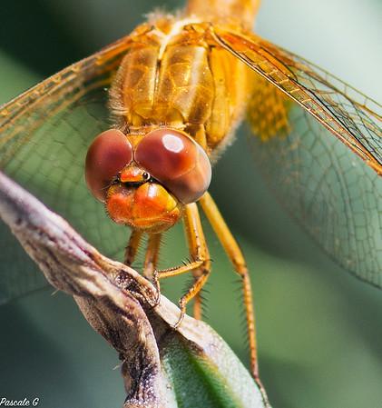 Dragonfly , closer