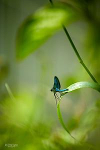 Petite fée bleue