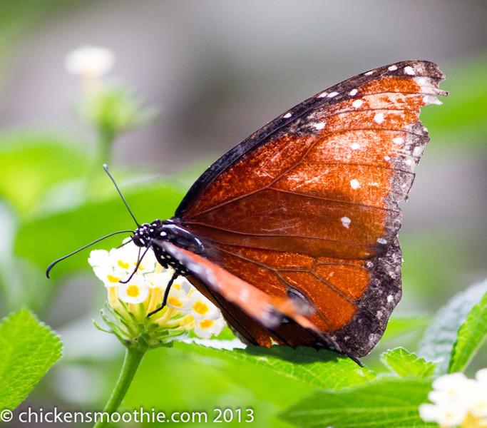 Copyright © chickensmoothie.com 2013