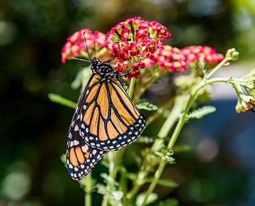 MonarchButterfly-April2019-15