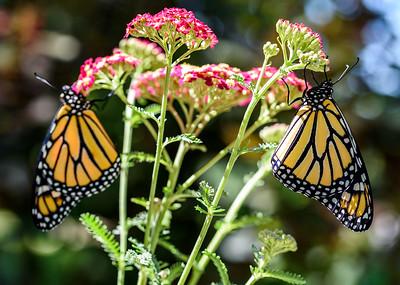 MonarchButterfly-April2019-6