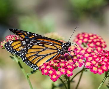 MonarchButterfly-April2019-3