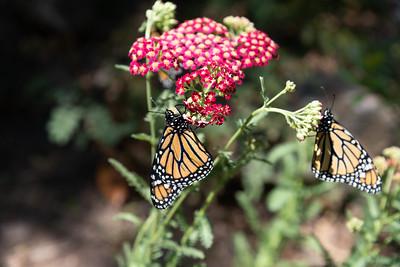 MonarchButterfly-April2019-14