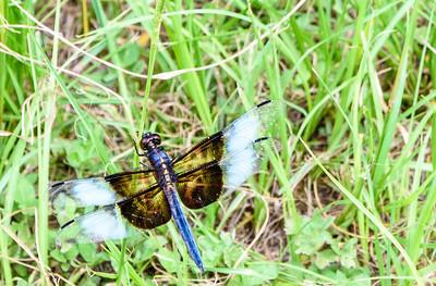 BWDragonfly2