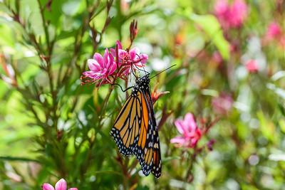 MonarchButterfly-April2019-11