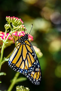 MonarchButterfly-April2019-7