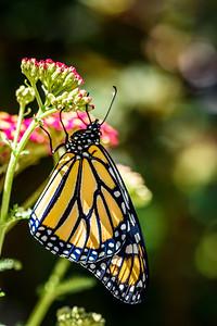 MonarchButterfly-April2019-7
