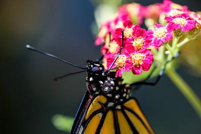 MonarchButterfly-April2019-9