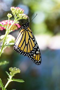 MonarchButterfly-April2019-5
