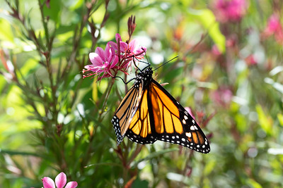 MonarchButterfly-April2019-10