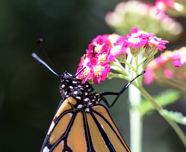 MonarchButterfly-April2019-8