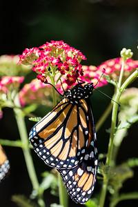 MonarchButterfly-April2019-12