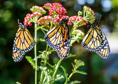 MonarchButterfly-April2019-13