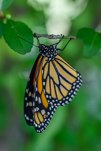 MonarchButterfly-April2019-4