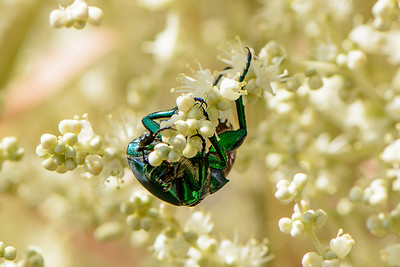 June Bug Devouring Nectar