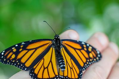 MonarchButterfly-April2019-1