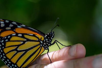 MonarchButterfly-April2019-2